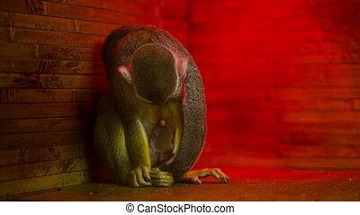 Monkey In the Zoo - Little Monkey in the zoo
