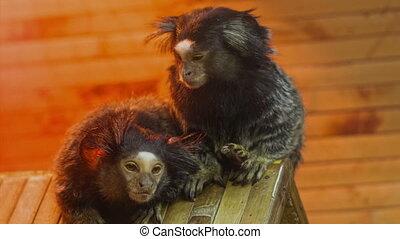 Monkey Searching Fleas - Little decorative Monkey Seeking...