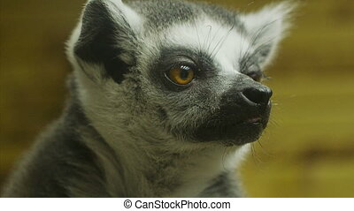Lemurs in the cage at zoo