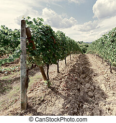 Chianti - Hill of Tuscany with Vineyard in the Chianti...