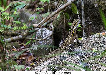 Australian Water Dragon - Photograph of an australian water...