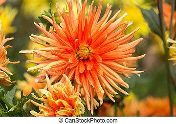 fim, cima, de, laranja, Dahlia, flores, em, jardim,