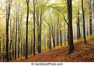 Autumn forest - Beech trees in autumn forest in the...