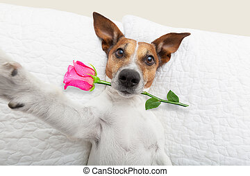 valentines day dog selfie - jack russell dog looking and...
