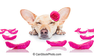valentines love sick dog - chihuahua dog looking and staring...