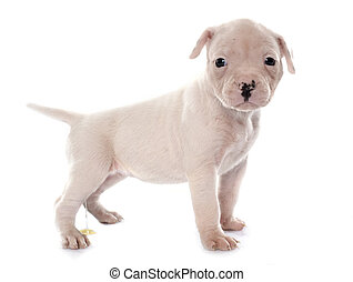 puppy american bulldog urinating in front of white...