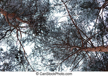Pine treetops covered with hoarfrost in the cloudy day