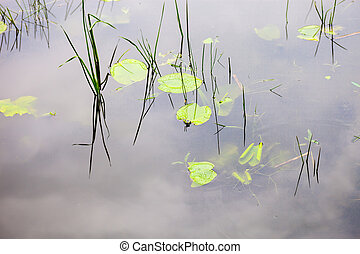 Water surface with lily pads and young reed stems