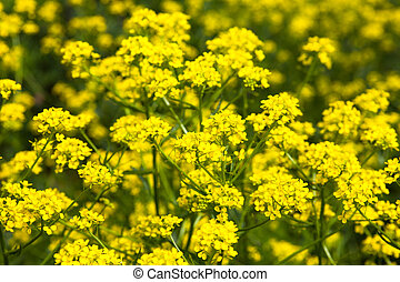 Yellow rapeseed flowers Brassica napus Close up