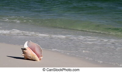 Conch In Waves - Queen conch shell sits on a sandy beach...