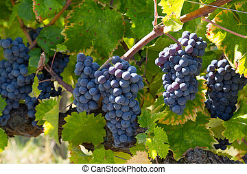 Bunches of ripe blue grapes, lit by the sun, close-up
