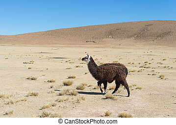 One single llama on the Andean highland in Bolivia. Adult...