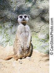 Suricata - suricata