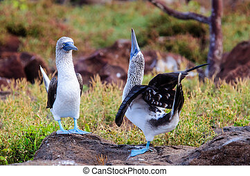 Courting Blue footed Boobies - A pair of Blue footed Boobies...