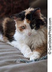 Calico Cat - Stock photo of a calico cat sitting on a couch