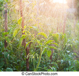 Spraying water over young tomatoes