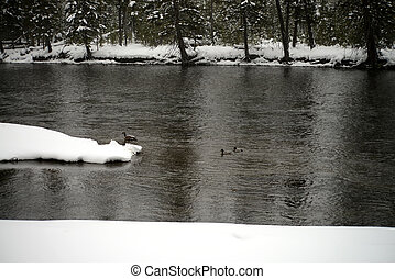 Madison River Yellowstone Winter Snow - Canada Geese,...