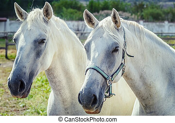 White Horses - Portrait of Two White Horses
