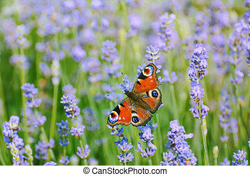 Peacock Butterfly on the Lavender Flower
