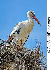 nido, Cigüeñas