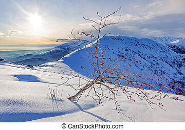 Whitebeam tree (Sorbus aria) in a snowy mountain landscape....