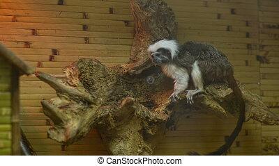 Little Decorotive Monkey in the zoo - Little Monkey in the...