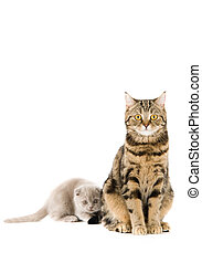 The Scottish lop-eared  cats on white