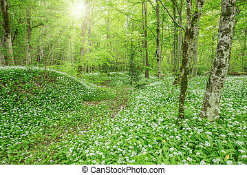 Wild garlic in the deep forest - White flowers of the...