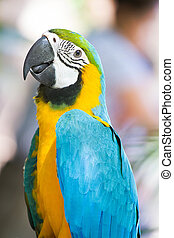 beautiful Blue-and-yellow Macaw Ara ararauna