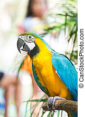 beautiful Blue-and-yellow Macaw (Ara ararauna)