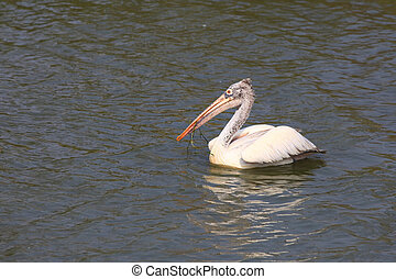 Pelican - Dalmatian Pelican in Kolleru bird sanctuary in...