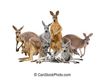 group of kangaroo isolated on white background