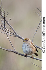 Golden-crowned Sparrow - Stocky Golden-crowned Sparrow,...