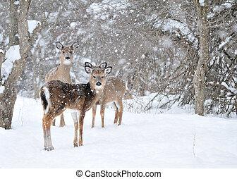 Whitetail Deer Doe - Whitetail deer doe and yearlings...