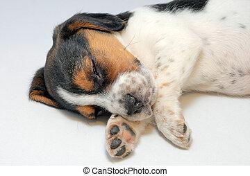 tricolor, sabueso, perrito, sueño