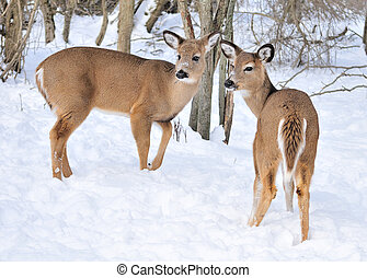 Whitetail Deer Does - Two Whitetail deer doe standing in the...