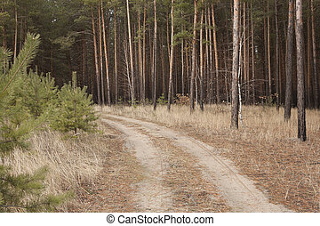 Forest dirt road Young pine trees left, right - the old pine...