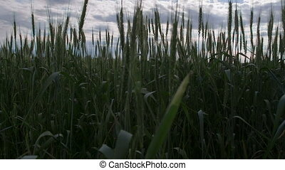 Wheat Field on a Cloudy Day - The camera moves along a wheat...
