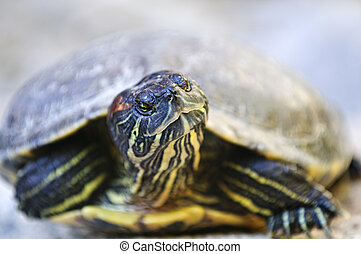 Red eared slider turtle - Close up of red eared slider...