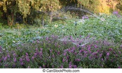 Watering flowers.