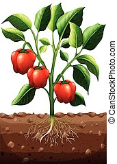 Capsicum plant on the farm illustration