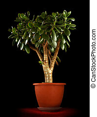 Crassula ovata - Jade Plant - Money tree Isolated on black...