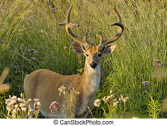 Whitetail Deer Buck - A whitetail deer buck in summer velvet...
