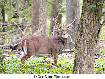 Whitetail Deer Buck - A whitetail deer buck i standing in a...