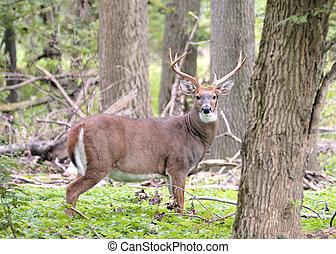 Whitetail Deer Buck - A whitetail deer buck i standing in a...
