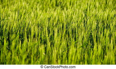 Ripening Wheat Ears - Wind creates waves in the wheat field...