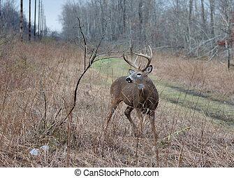 Whitetail Deer Buck - A whitetail deer buck standing in a...