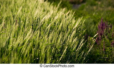 The Edge of a Wheat Field - The edge of a wheat field at...