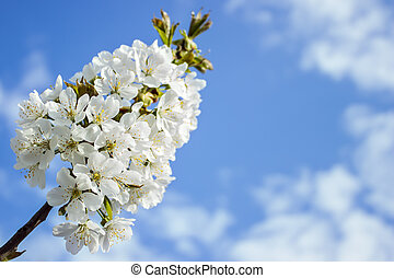 Spring white blossom of cherry tree against blue sky Free...