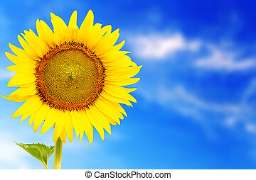 fresh blossom sunflower outstanding in sunnyday with blue...